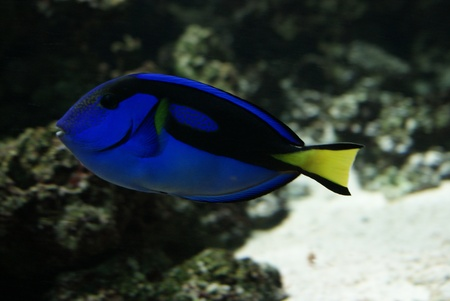 hepatus: Close-up side-on image of Regal Tang