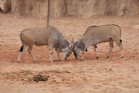 duelling: Common Waterbuck - Fighting