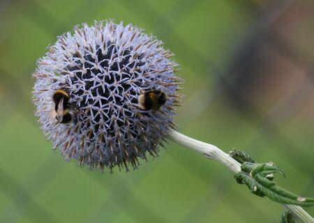 Bumblebee(s) on flower  ground photo