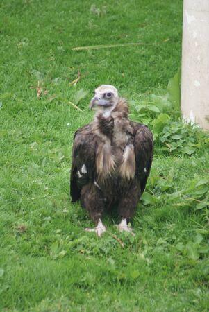 European Black Vulture - Aegypius monachus - wild bird photo