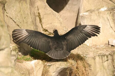 wing span: Andean Condor wing span taken from behind
