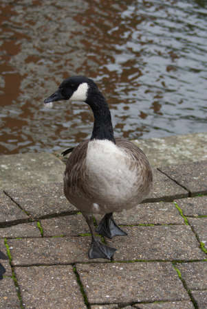 Wild Common Canada Goose - Branta Canadensis Stock Photo - 8696011