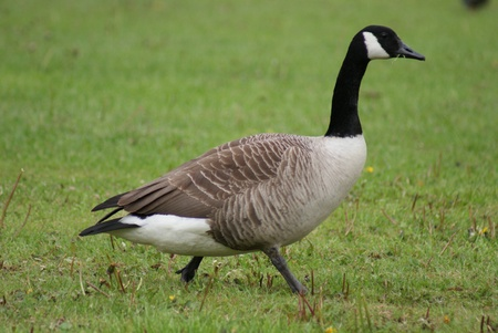 Wild Common Canada Goose - Branta Canadensis Stock Photo - 8695997