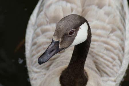 Wild Common Canada Goose - Branta Canadensis Stock Photo - 8695942