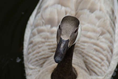 Wild Common Canada Goose - Branta Canadensis Stock Photo - 8695933