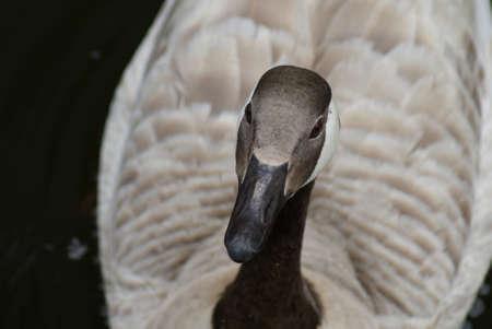 Wild Common Canada Goose - Branta Canadensis Stock Photo - 8695933