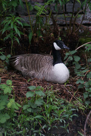 Wild Common Canada Goose - Branta Canadensis Stock Photo - 8696010