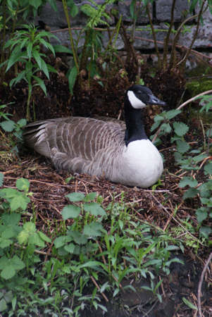 Wild Common Canada Goose - Branta Canadensis Stock Photo - 8696019