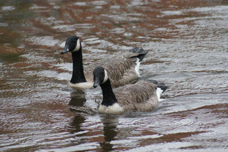 Wild Common Canada Goose - Branta Canadensis Stock Photo - 8696023
