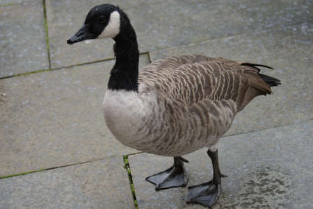 Wild Common Canada Goose - Branta Canadensis Stock Photo - 8695954
