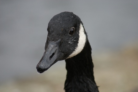branta: Wild Common Canada Goose - Branta Canadensis Stock Photo