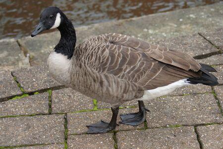 Wild Common Canada Goose - Branta Canadensis Stock Photo - 8696014