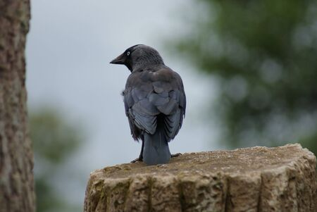 Portait image of a wild Jackdaw - Corvus monedula Stock Photo - 8805158