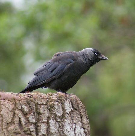 Portait image of a wild Jackdaw - Corvus monedula Stock Photo - 8805116