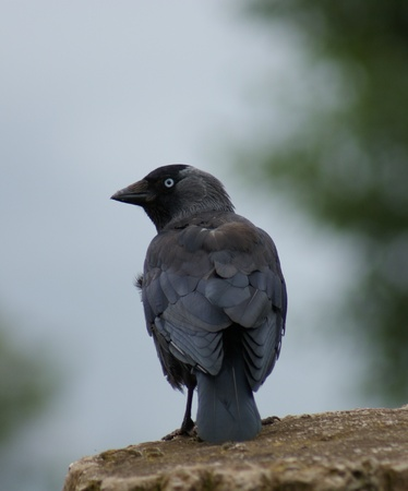 Portait image of a wild Jackdaw - Corvus monedula Stock Photo - 8805100