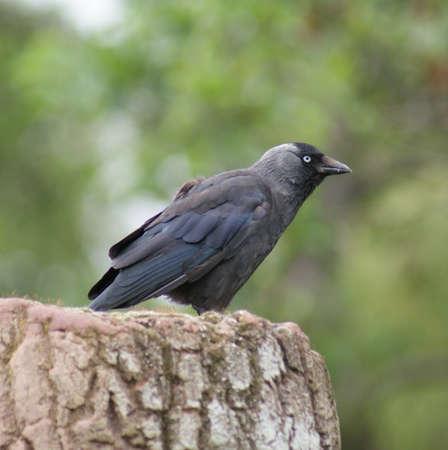Portait image of a wild Jackdaw - Corvus monedula Stock Photo - 8805113