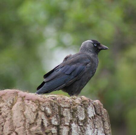 Portait image of a wild Jackdaw - Corvus monedula Stock Photo - 8805115