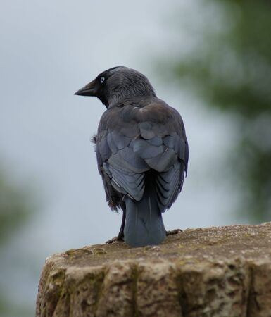 Portait image of a wild Jackdaw - Corvus monedula Stock Photo - 9555090