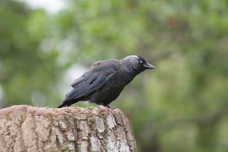 Portait image of a wild Jackdaw - Corvus monedula Stock Photo - 9555728