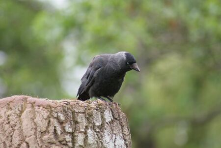 Portait image of a wild Jackdaw - Corvus monedula Stock Photo - 9555614