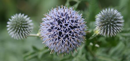 Close-up image of a Purple Globe Thistle (Echinops ritro) Stock Photo - 9555514