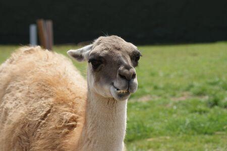 guanicoe: Close-up image of a Guanaco - Lama guanicoe Stock Photo