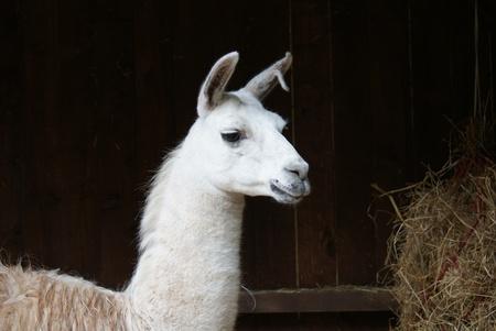 Close-up image of a Llama - Lama glama photo