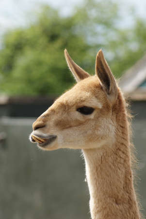 Close-up image of Vicuna - Vicugna vicugna photo