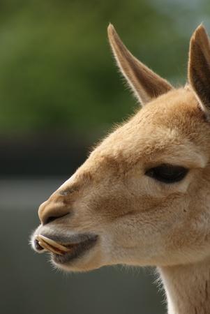 Close-up image of Vicuna - Vicugna vicugna photo
