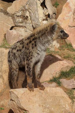 Wild Spotted / Laughing Hyena - Crocuta crocuta Stock Photo - 9555565