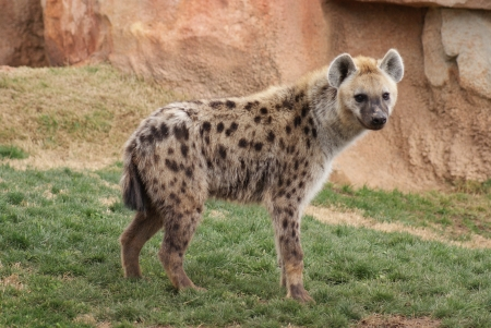Wild Spotted  Laughing Hyena - Crocuta crocuta