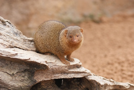 Close-up image of a Dwarf Mongoose - Helogale parvula Stock Photo