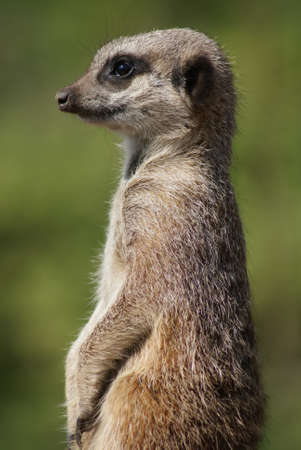 erdmaennchen: Close-up image of a Meerkat - Suricata suricatta Stock Photo