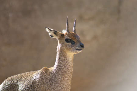 Close-up image of a Klipspringer - Oreotragus oreotragus Stock Photo - 9558207