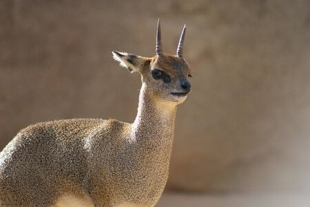 Close-up image of a Klipspringer - Oreotragus oreotragus Stock Photo - 9558221
