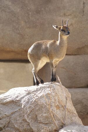 Close-up image of a Klipspringer - Oreotragus oreotragus  photo