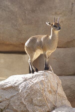 Close-up image of a Klipspringer - Oreotragus oreotragus  Stock Photo - 9558249