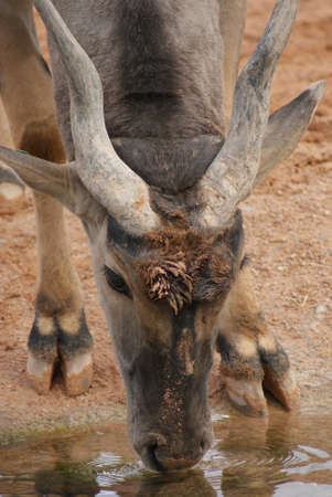 duelling: Intimate imagery within a herd of Waterbuck - Kobus ellipsiprymnus Stock Photo