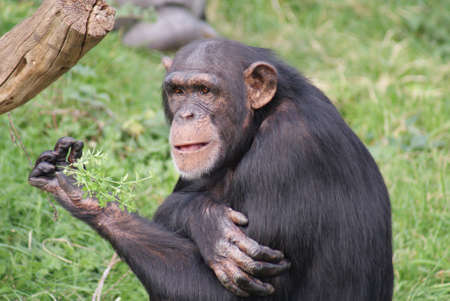 troglodytes: Intimate imagery from within the group of Common Chimpanzee - Pan Troglodytes