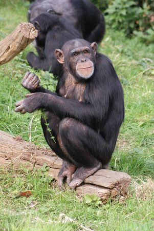 chimp: Intimate imagery from within the group of Common Chimpanzee - Pan Troglodytes