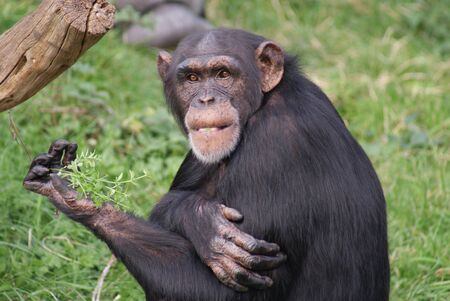 Intimate imagery from within the group of Common Chimpanzee - Pan Troglodytes
