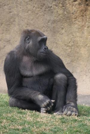 Portrait of a Western Lowland Gorilla - Gorilla gorilla gorilla