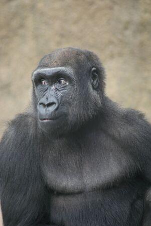 Portrait of a Western Lowland Gorilla - Gorilla gorilla gorilla photo
