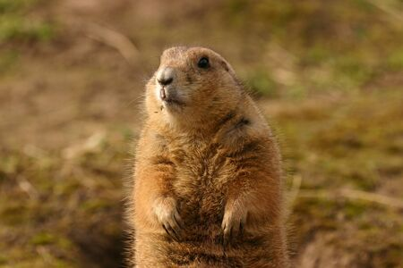 Intimate imagery of a Black-tailed Prairie Marmot - Cynomys ludovicianus Stock Photo