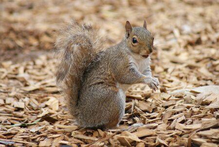 astern: Intimate imagery of an astern Grey Squirrel - Sciurus carolinensis Stock Photo