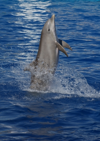 Leaping from the blue - Common Bottlenose Dolphin - Tursiops truncatus