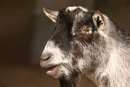 pygmy goat: Close-up image of a Pygmy Goat - Capra aegagrus