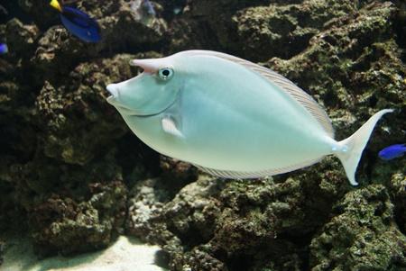 Close-up image of Unicorn Surgeonfish in water