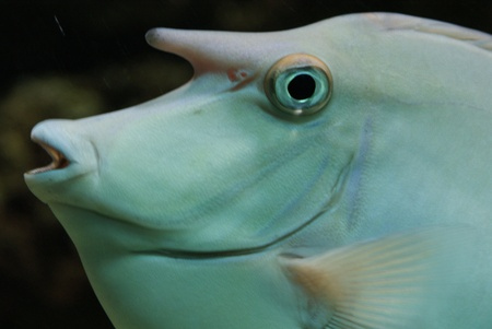 Close-up image of Unicorn Surgeonfish in water Stock Photo - 9558097