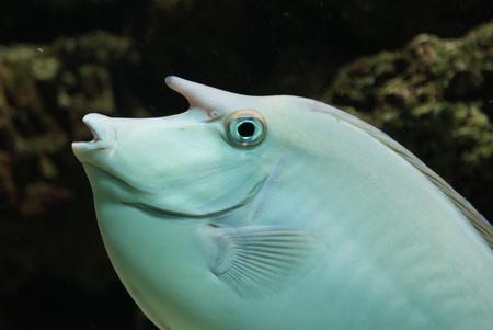 Close-up image of Unicorn Surgeonfish in water Stock Photo - 9558084